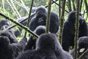 New technology trialled to better monitor human-gorilla conflict in Uganda