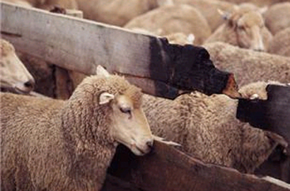 SA farmer gets sheep to call him